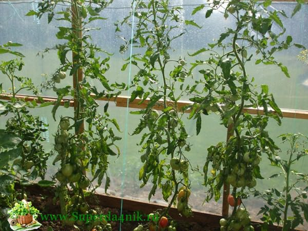 Crop varieties of tomatoes for greenhouses